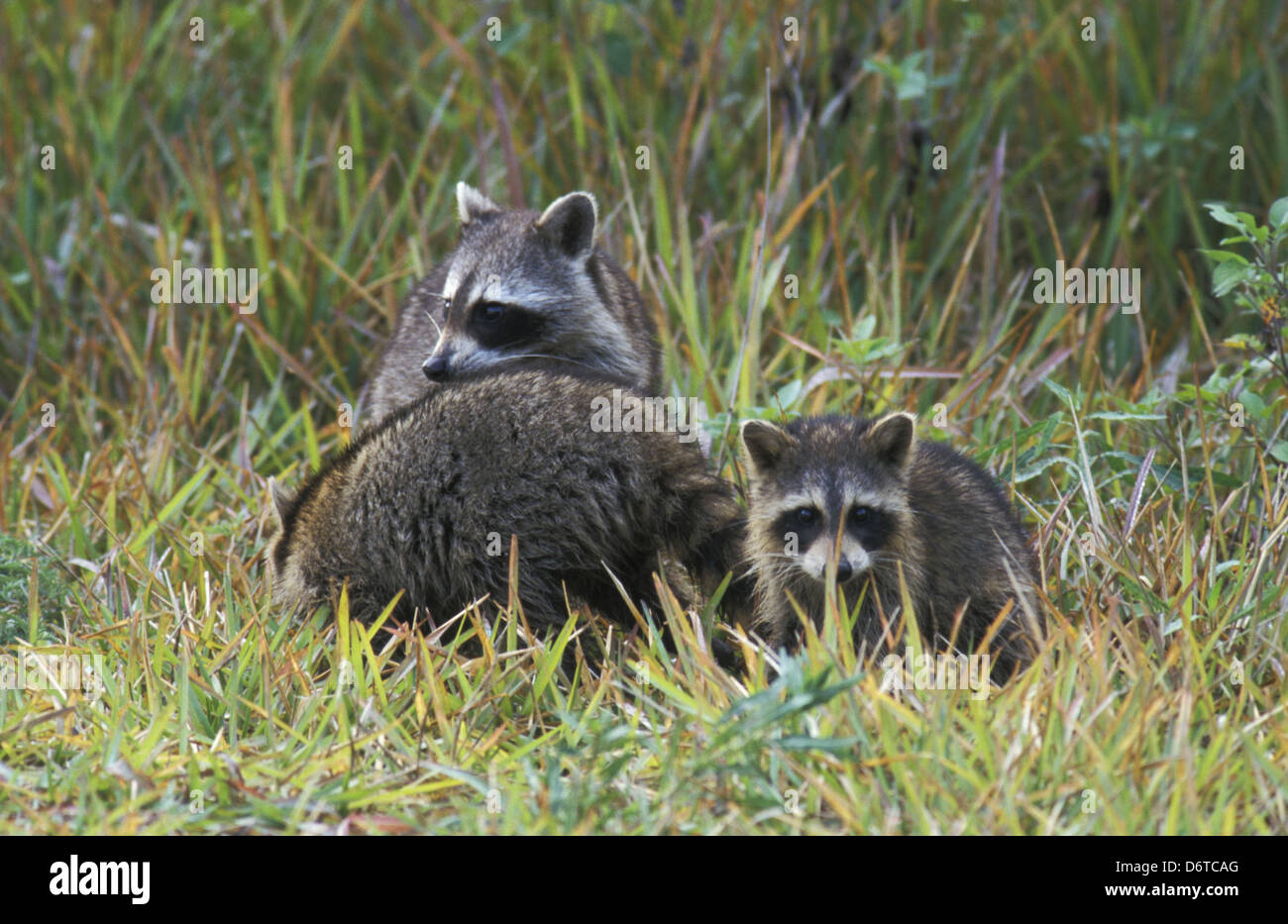 4a9f367716ad08 Waschbär (Procyon Lotor) Familiengruppe - USA Stockfoto