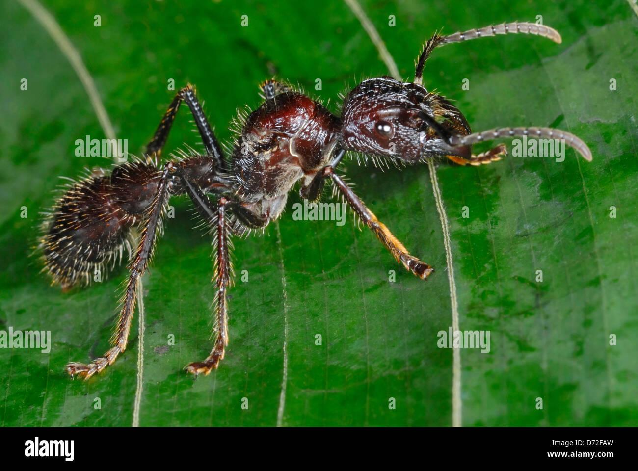 Enorme Bullet Ant (Paraponeragroße Clavata) im Regenwald von Costa Rica Stockbild