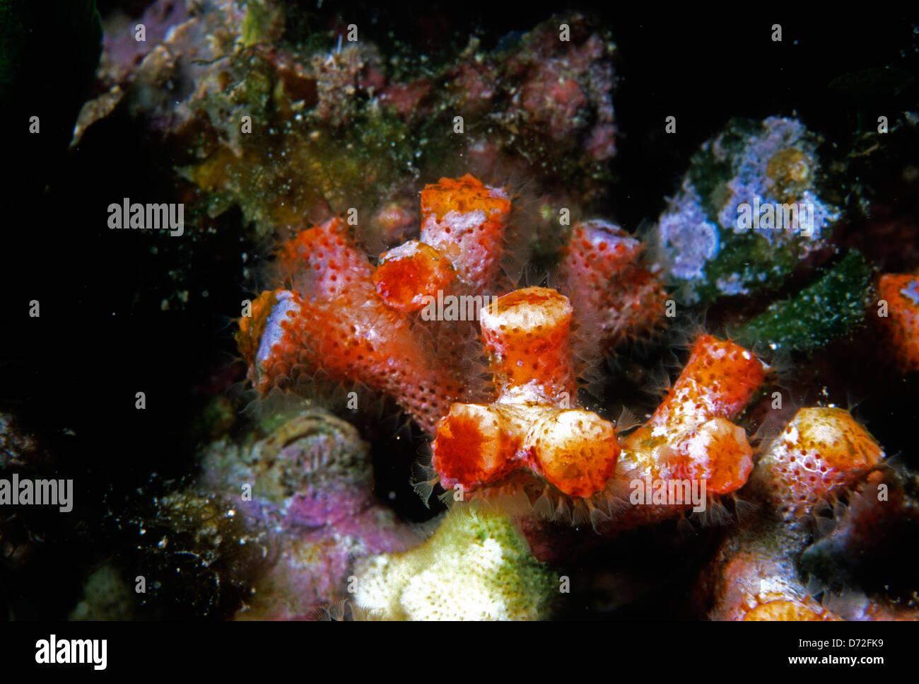 Mediterranean Bryozoa Stockfotos & Mediterranean Bryozoa Bilder - Alamy