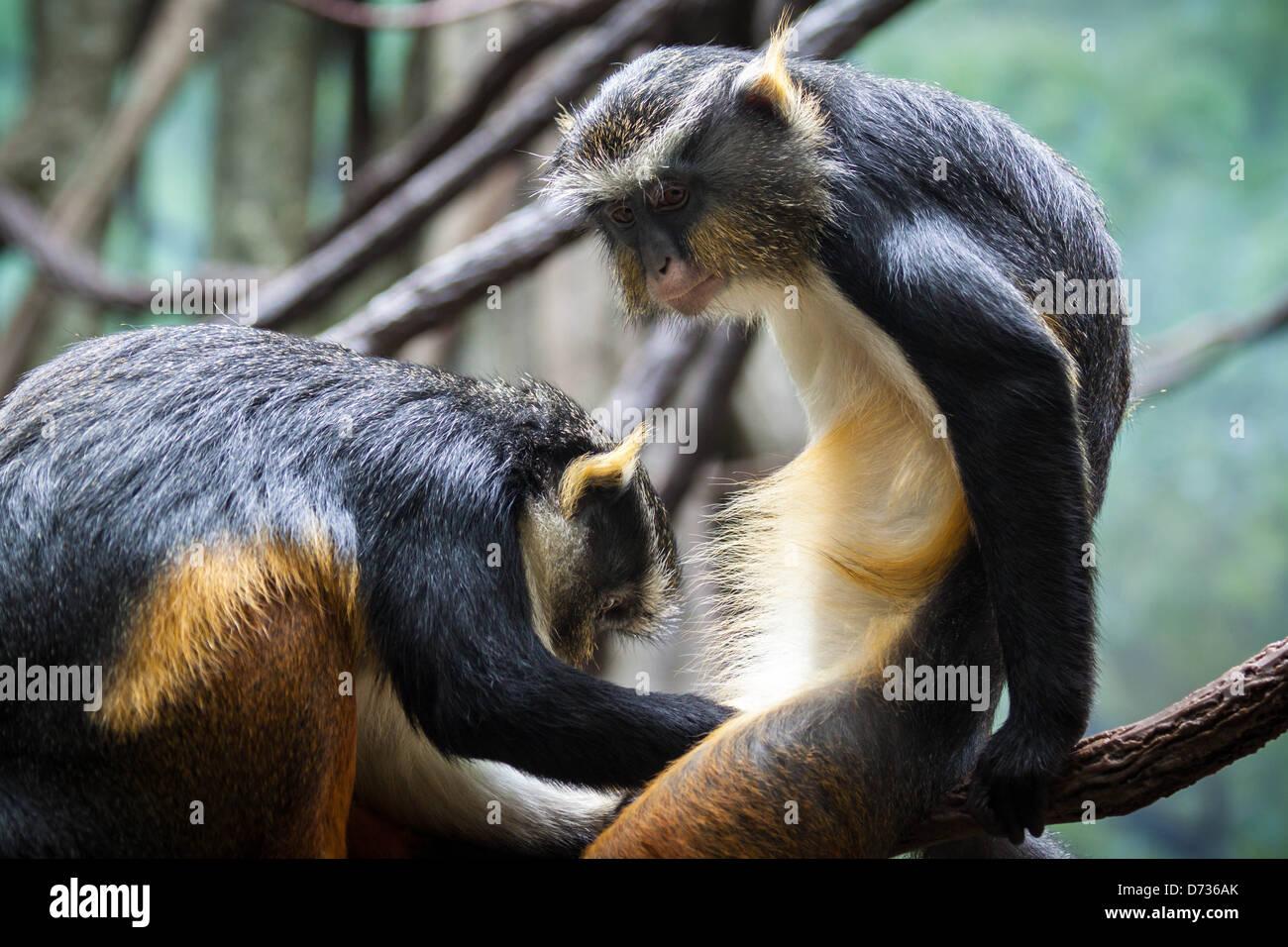 Zwei lustige Affen pflegen einander Stockfoto, Bild: 14 - Alamy