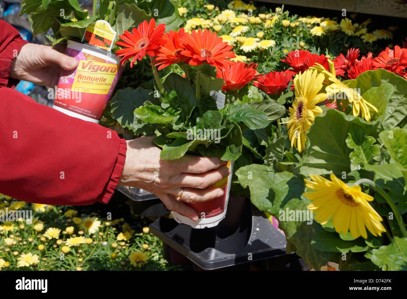Gartencenter Blumen Topf Pflanzen Closeup, Gerbera