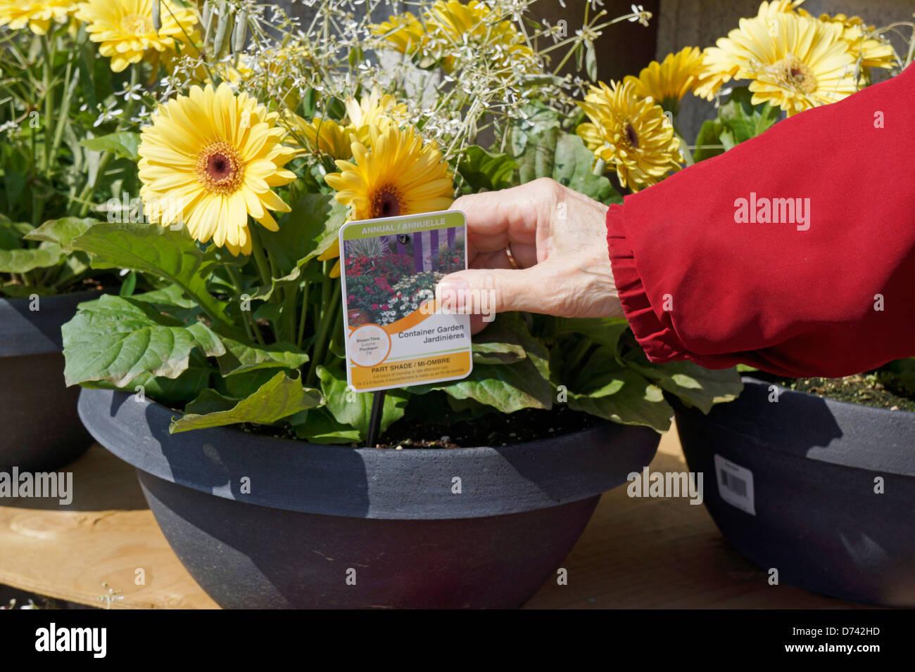 Attraktiv Gartencenter Blumen Topf Pflanzen Closeup, Gerbera