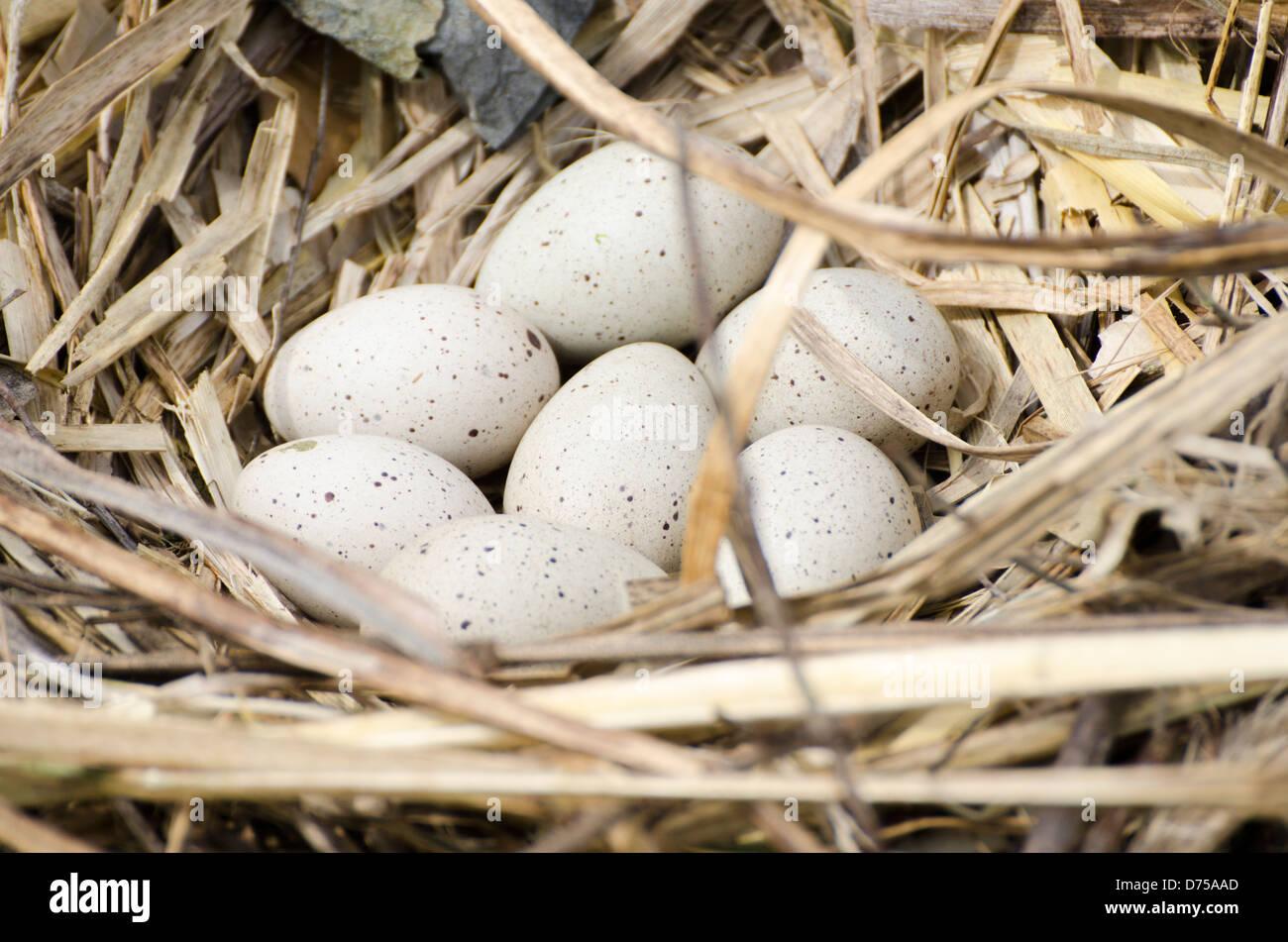 Blässhuhn ((Fulica Atra) Eiern im Nest. Stockbild