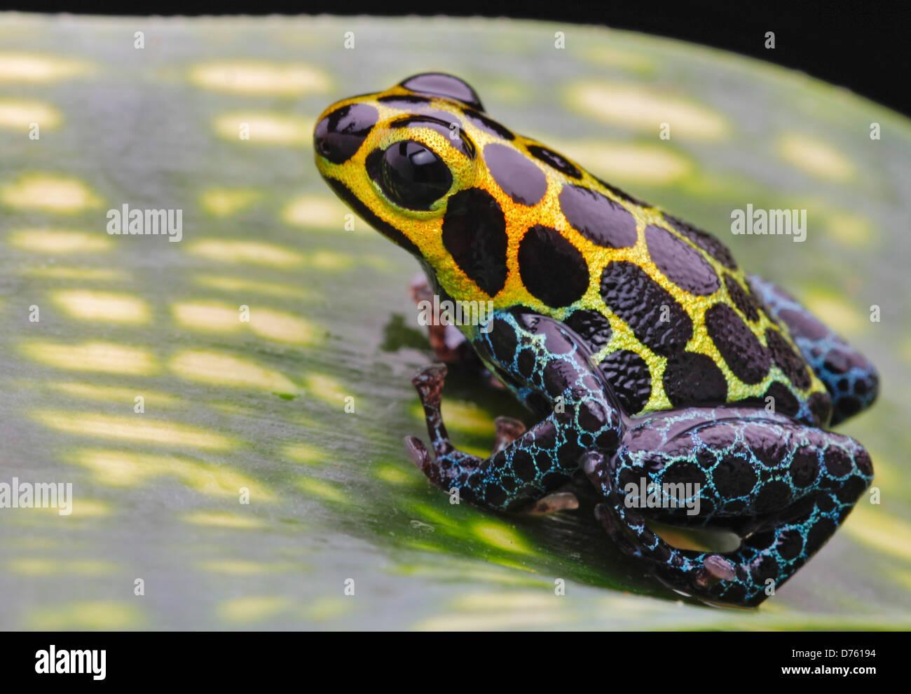 Gr n retikuliert vergiften pfeil frosch im tropischen amazonas dschungel von peru in der n he - Frosch auf englisch ...