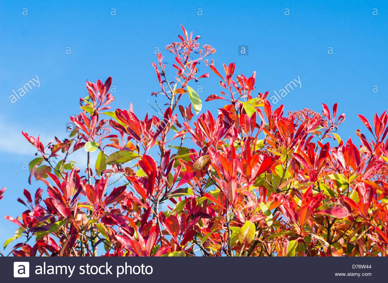 Blätter von einem Red Robin Strauch (Photinia X fraseri) gegen blauen Himmel im Frühjahr. Stockbild