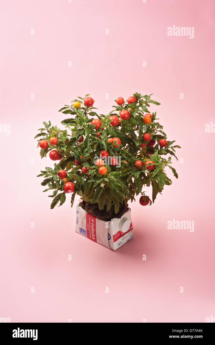 Hamburg, Deutschland, ein Tetrapack als eine dekorative Blumentopf für Tomaten Stockbild