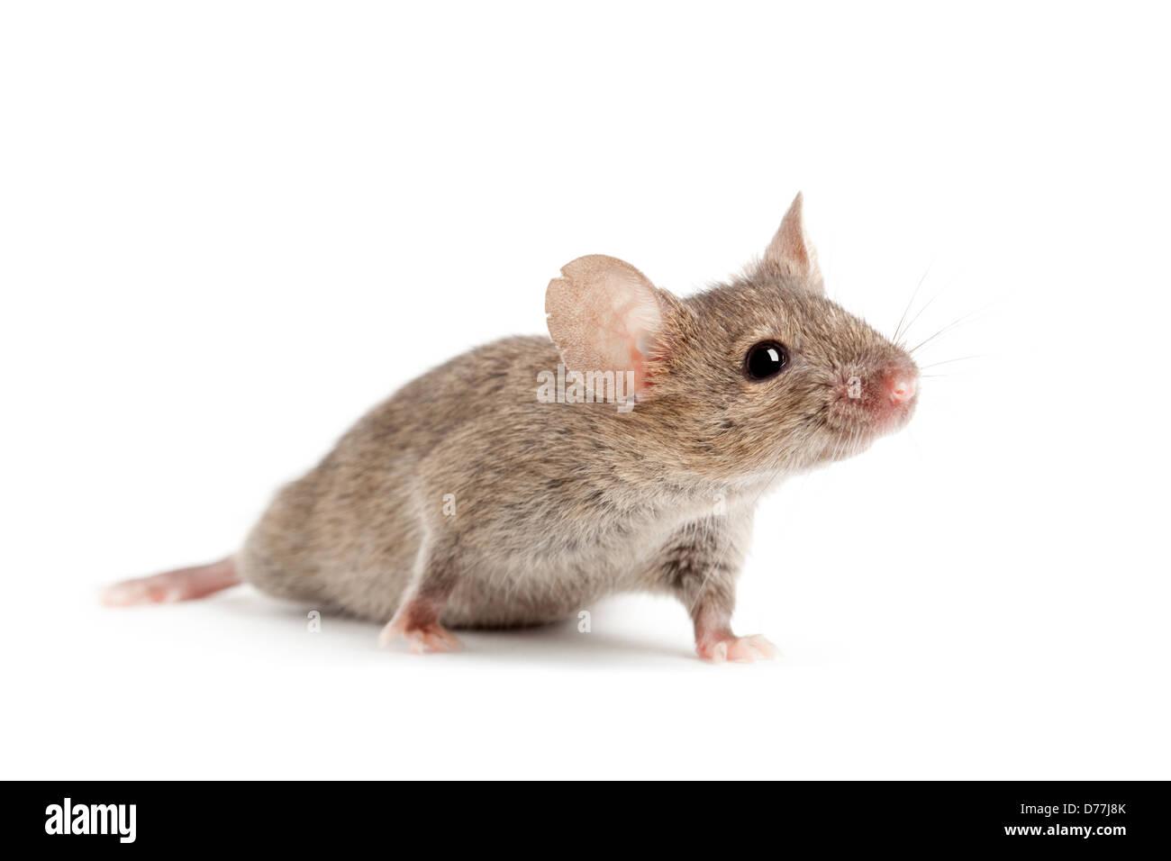 Maus-Closeup isoliert auf weißem Hintergrund Stockbild