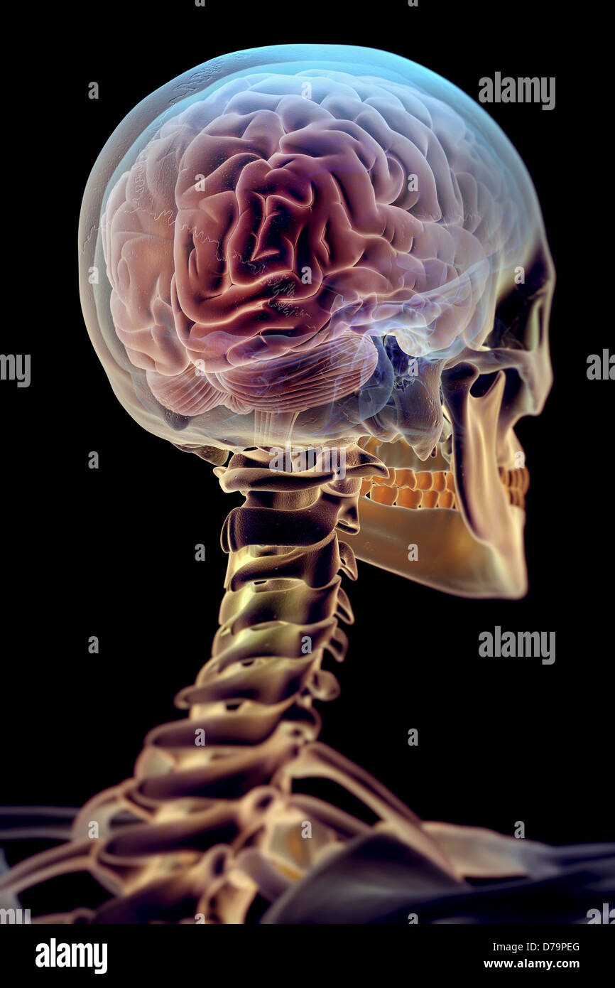 Das Gehirn im Skelett Stockbild