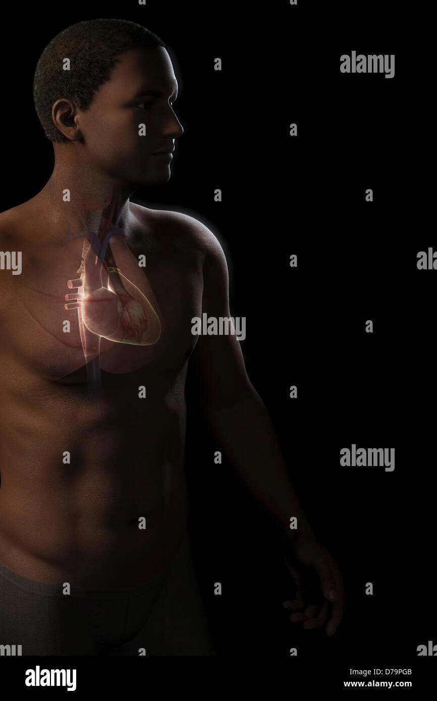 Herz in der Brust Stockbild