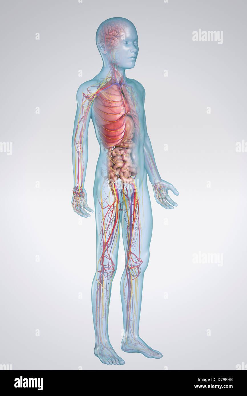 Innere Anatomie vor Jugendlichen Stockfoto, Bild: 56148999 - Alamy
