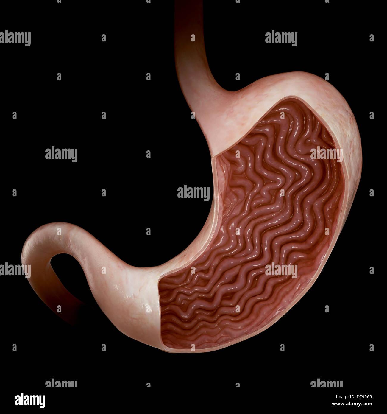 Großzügig Auskleidung Des Magens Fotos - Menschliche Anatomie Bilder ...