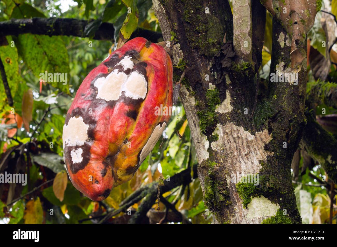 Kakaofrucht mit Frosty Pod Krankheit infiziert verursacht durch den Pilz Basidiomycete Moniliophthora Roreri, Ecuador Stockbild