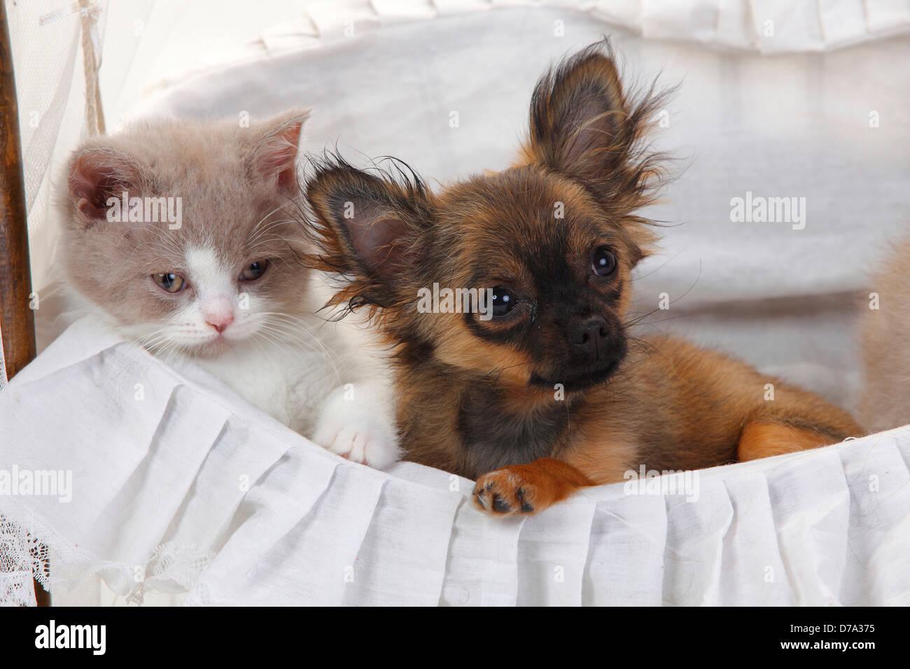 Chihuahua Welpen Langhaar 4 Monate Und British Longhair Katze Katzchen Beige Weiss 9 Wochen Highlander Flachland Britanica Stockfotografie Alamy