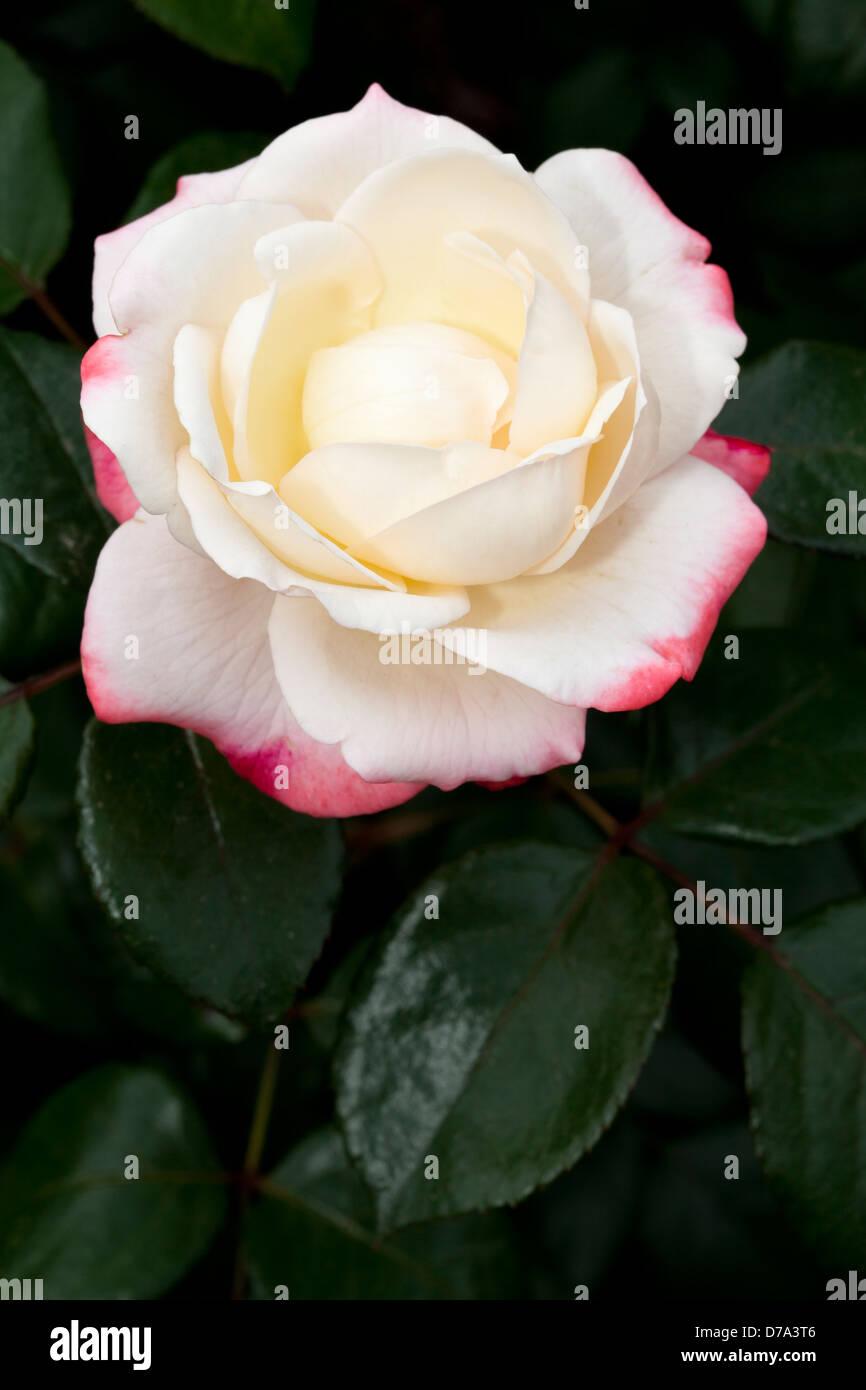 """Teehybride, Rose, Rosa, """"Nostalgie"""" Stockbild"""