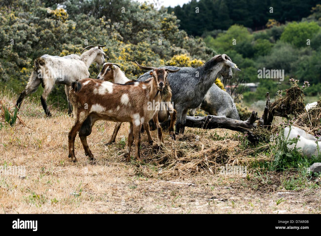 Ziegen aus Gran Canaria Stockbild
