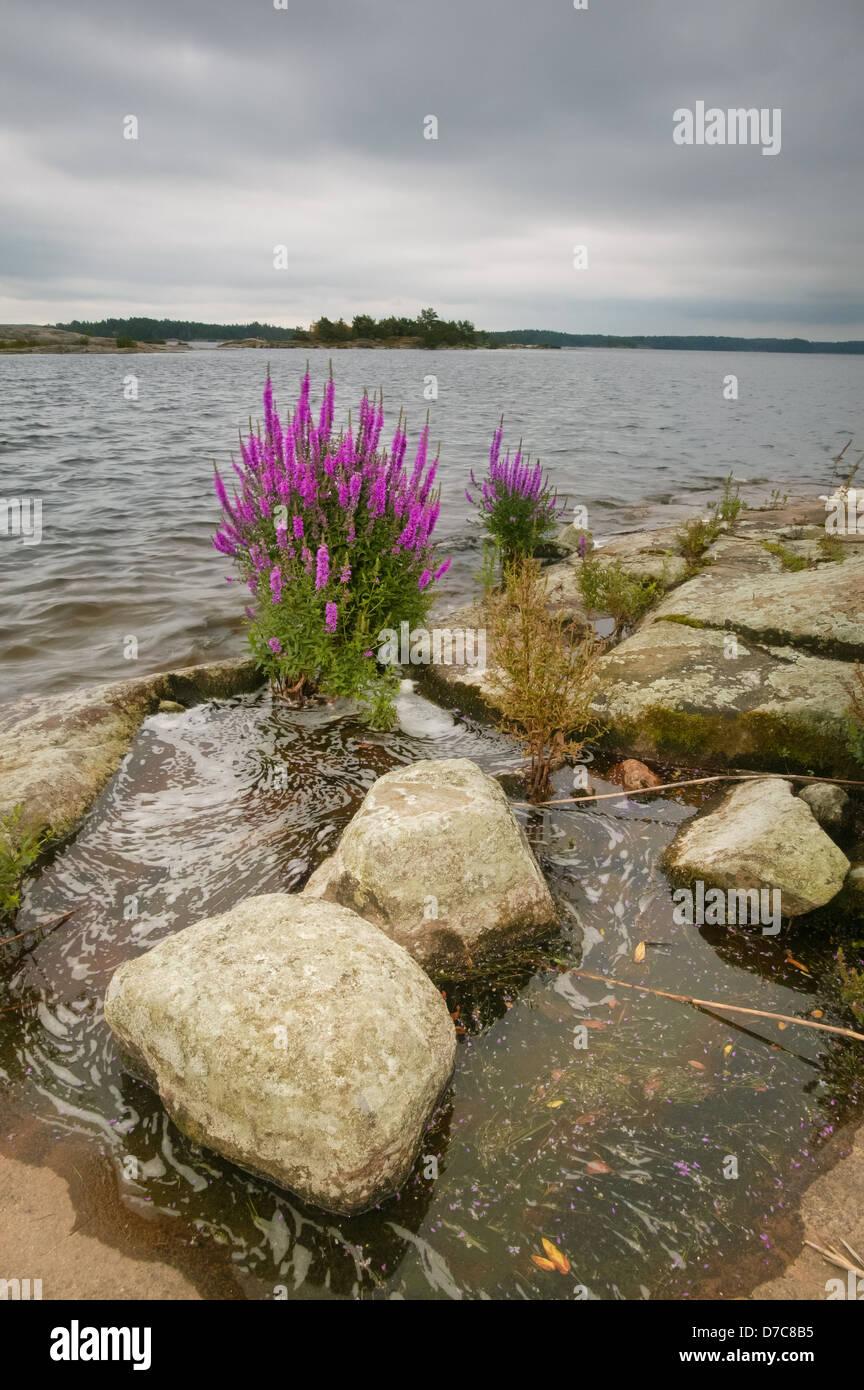 Blutweiderich Wildblumen, an der kleinen Inseln Moskjæra in den See Vansjø, Råde Kommune, Østfold Stockbild