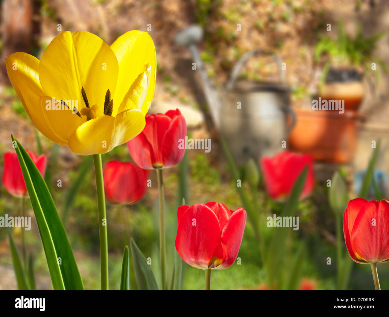 tulips in watering can stockfotos tulips in watering can bilder seite 2 alamy. Black Bedroom Furniture Sets. Home Design Ideas