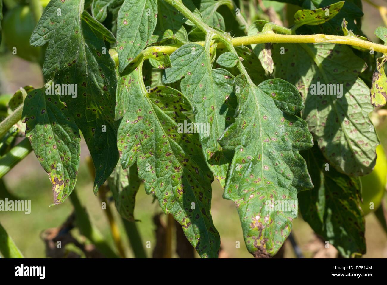 Tomaten-Krankheit, Septoria-Blattflecken Stockbild