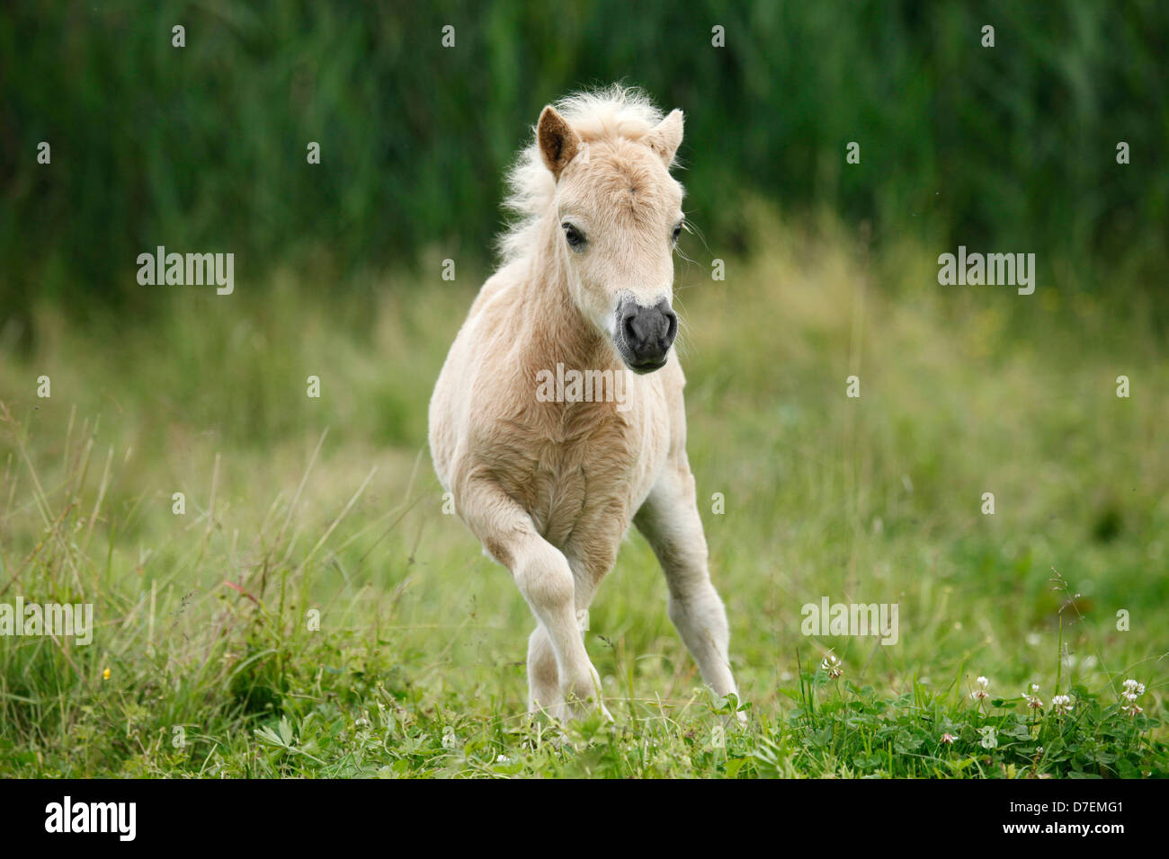 shetlandpony horse foal meadow stockfotos shetlandpony horse foal meadow bilder alamy. Black Bedroom Furniture Sets. Home Design Ideas