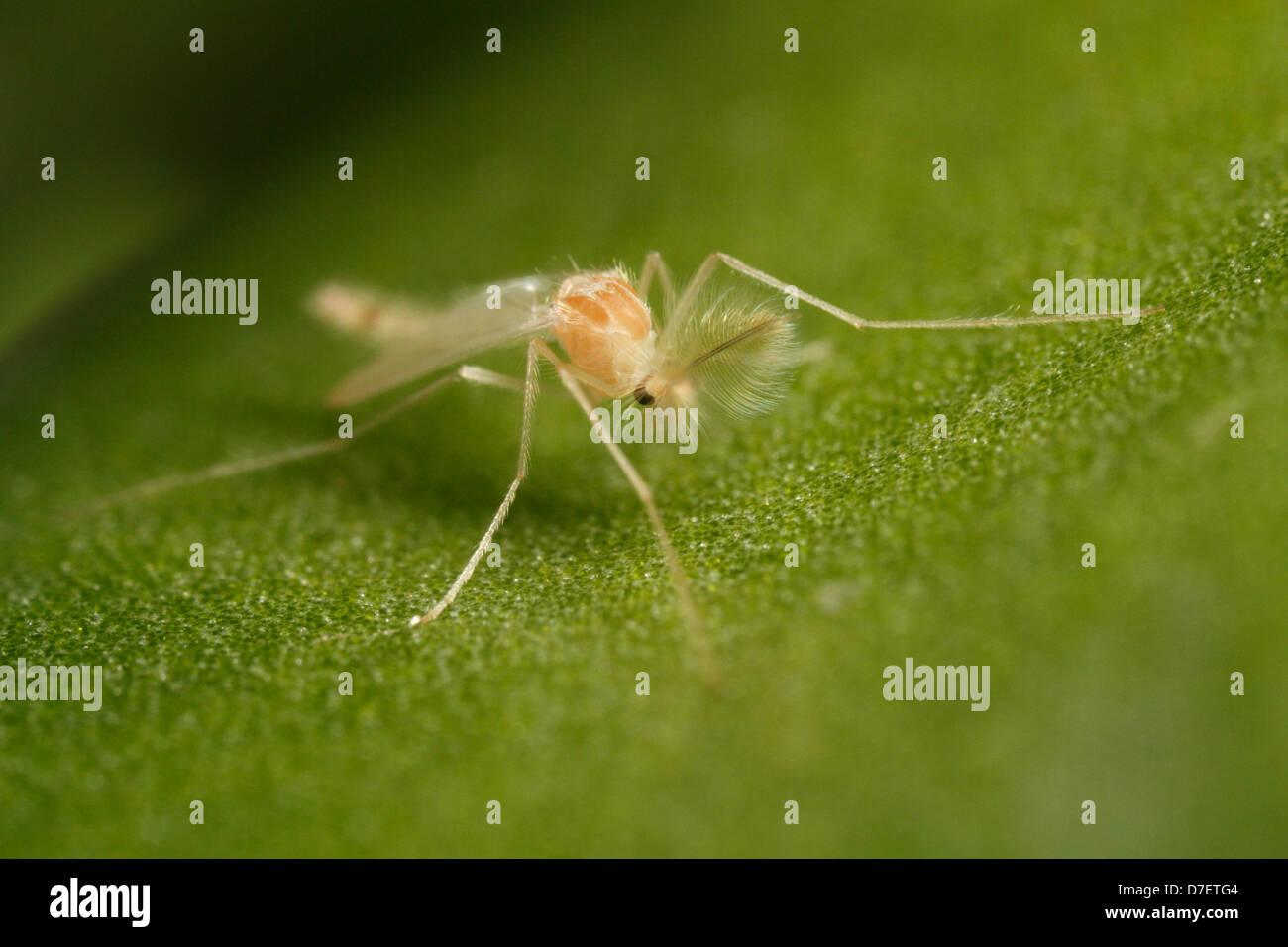 Chironomid gnat auf einem Blatt (männlich) Stockbild
