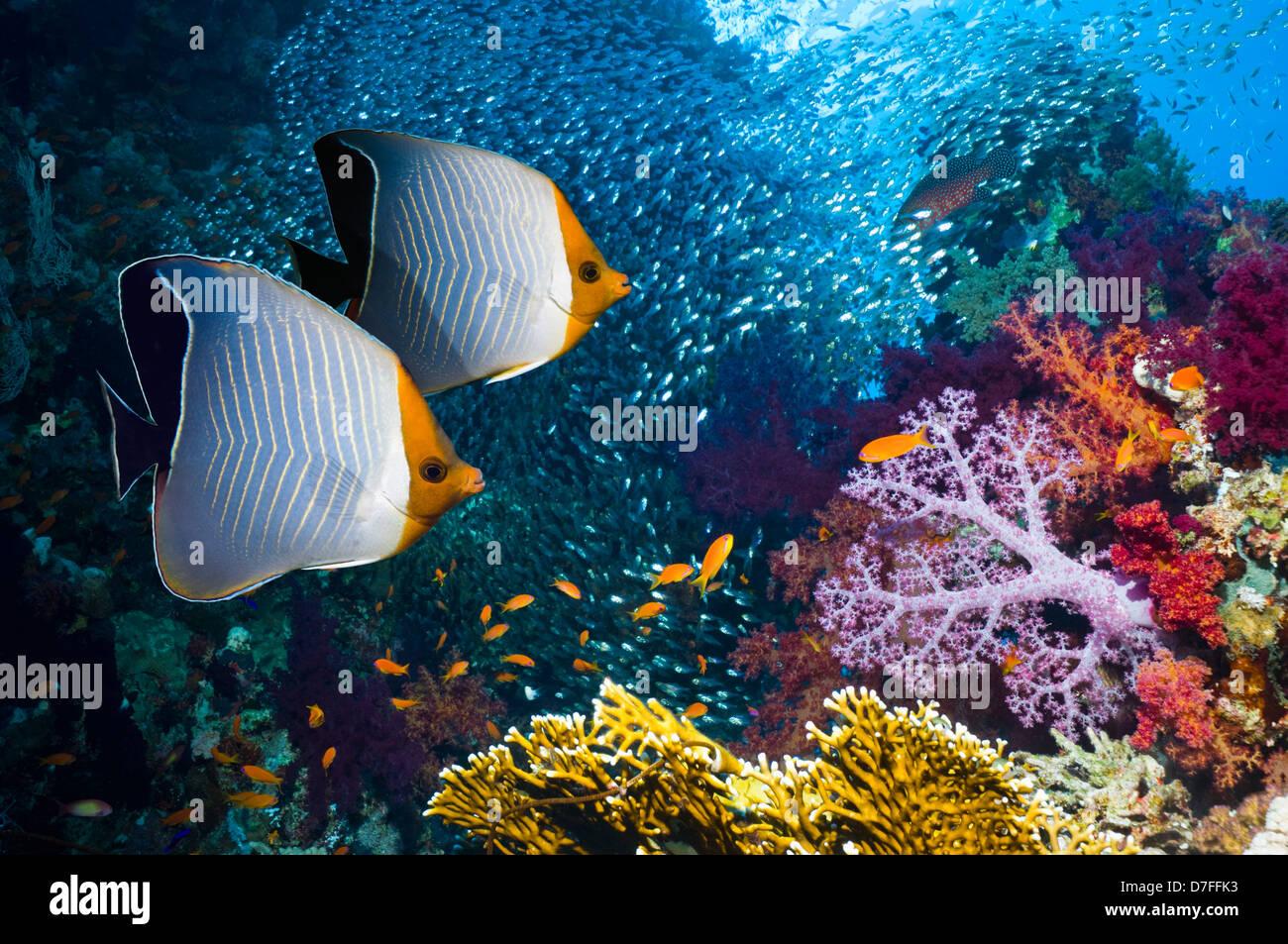 Orange-Gesicht Butterflyfish (Chaetodontidae Larvatus). Ägypten, Rotes Meer. Bereich: Rotes Meer, Golf von Stockbild