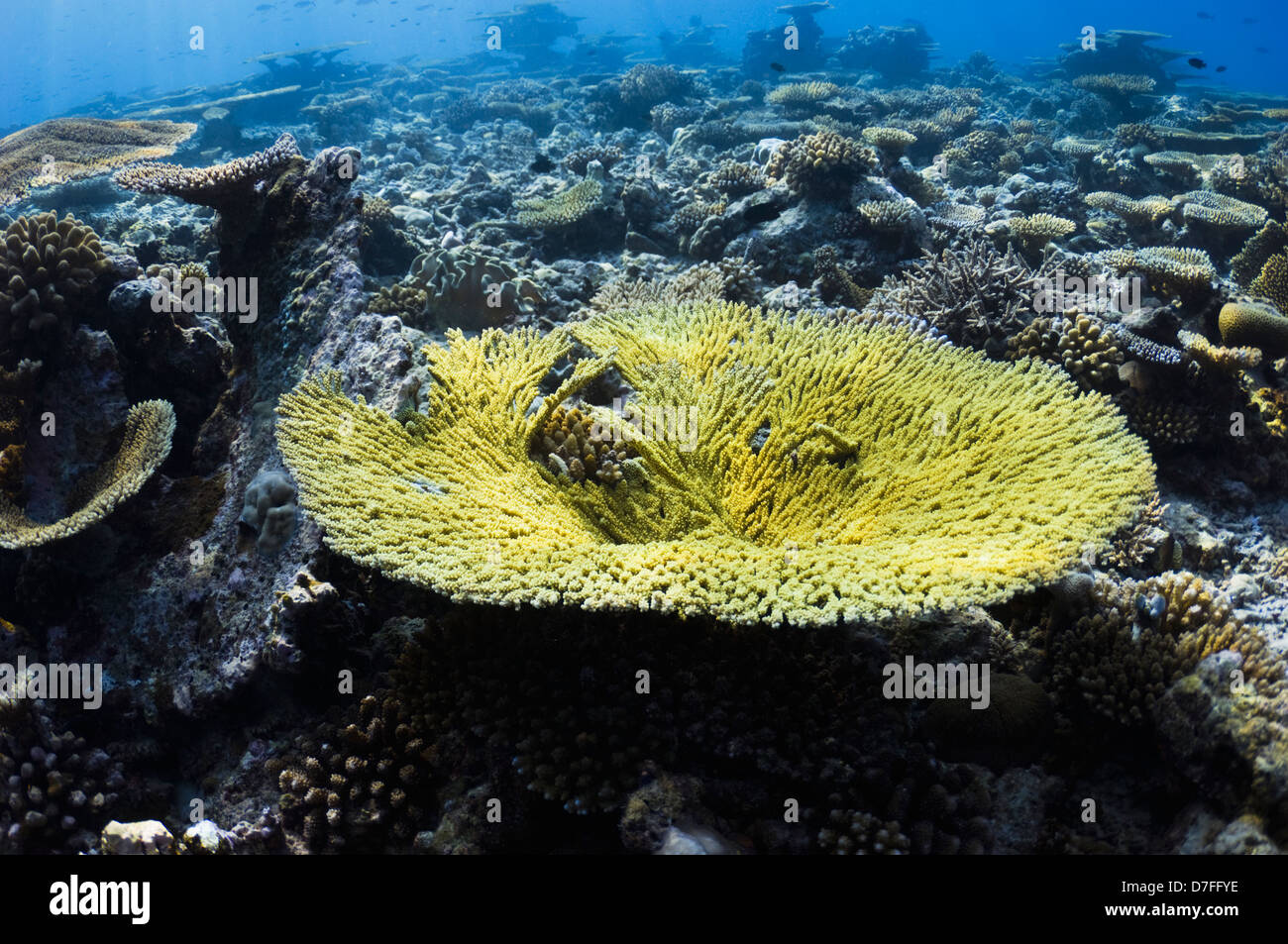 Acropora Tabelle Korallen auf Coral Reef Maldives Stockbild