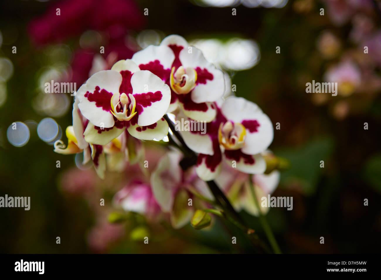Leidenschaftlich - Zweig Burgund Orchidee Blume closeup Stockbild