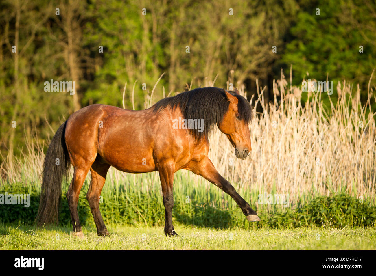Weide-andalusischen Pferd Bay Hengst spanischen Schritt durchführen Stockbild