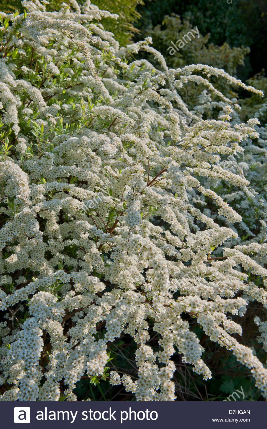 Brautkranz Spirea X arguta Feder Blume Strauch April weiße Gartenpflanze Stockbild