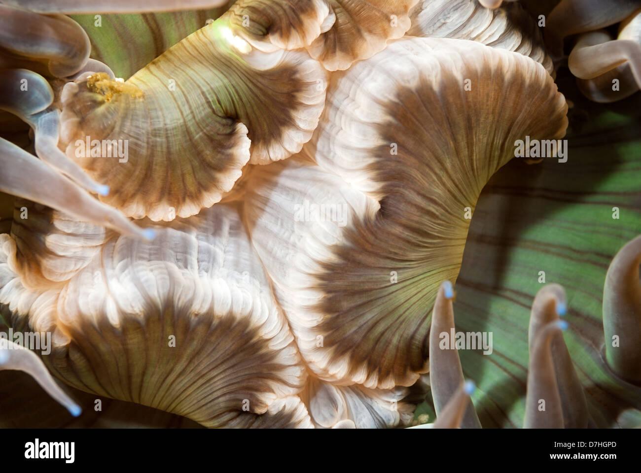 Ein Close Up von einer Seeanemone Mund zeigt die komplizierte Details eines Ozeans Wirbellosen. Stockbild