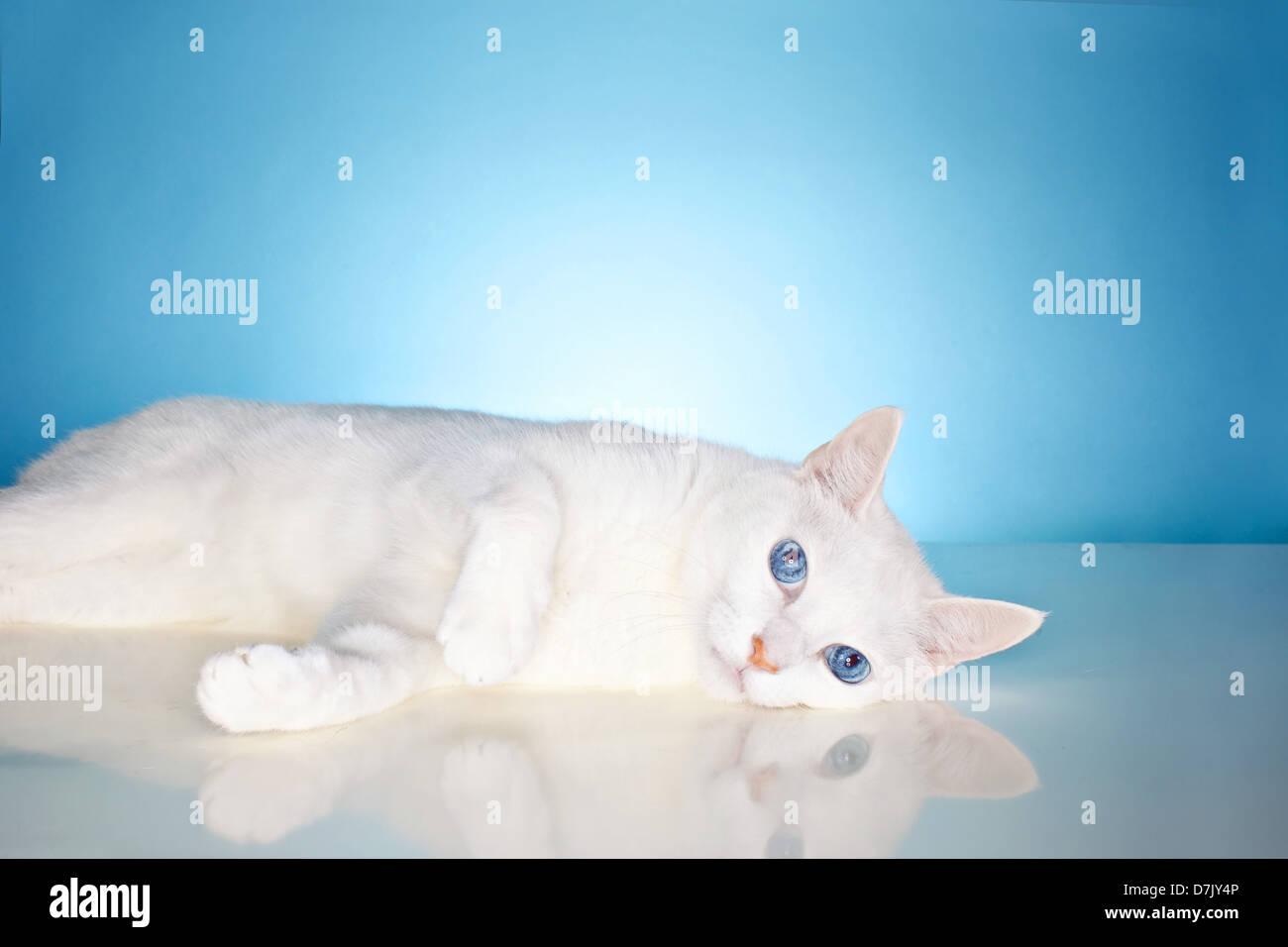 Wunderschöne reine weiße Katze mit China blaue Augen starren Kamera gegen blaue Studio-Hintergrund Stockbild