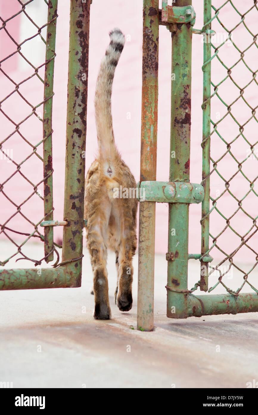 Ingwer Katze quetschen durch Zaun Türen Stockbild