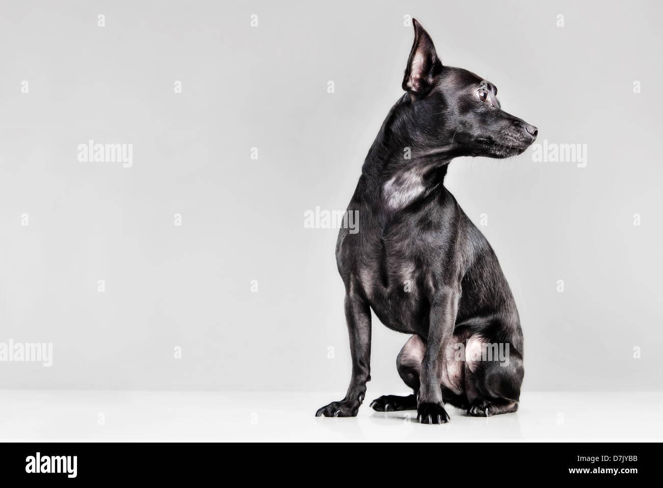 Porträt von schwarze Chihuahua im Studio wegschauen Stockbild