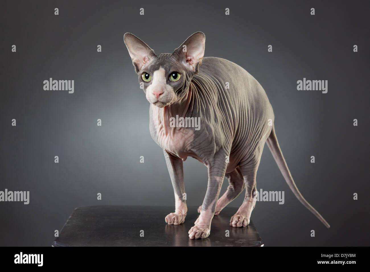 Porträt von alert haarlose blass grau Sphinx Katze stehend stellte im studio Stockbild