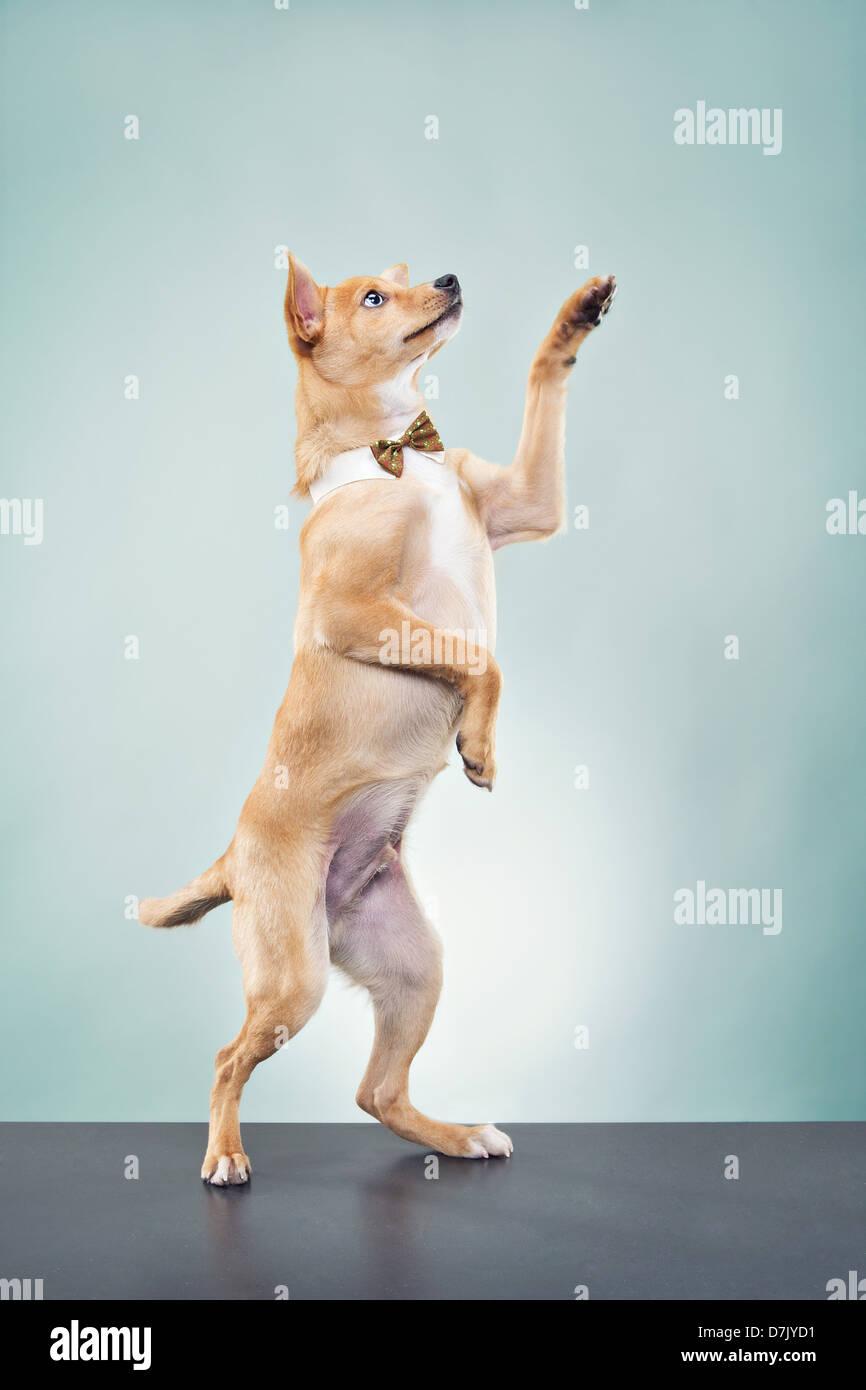 Ein Basenji Chihuahua Hund trägt Fliege und stehen im Studio mit Pfote, aufgewachsen in Gruß Stockbild