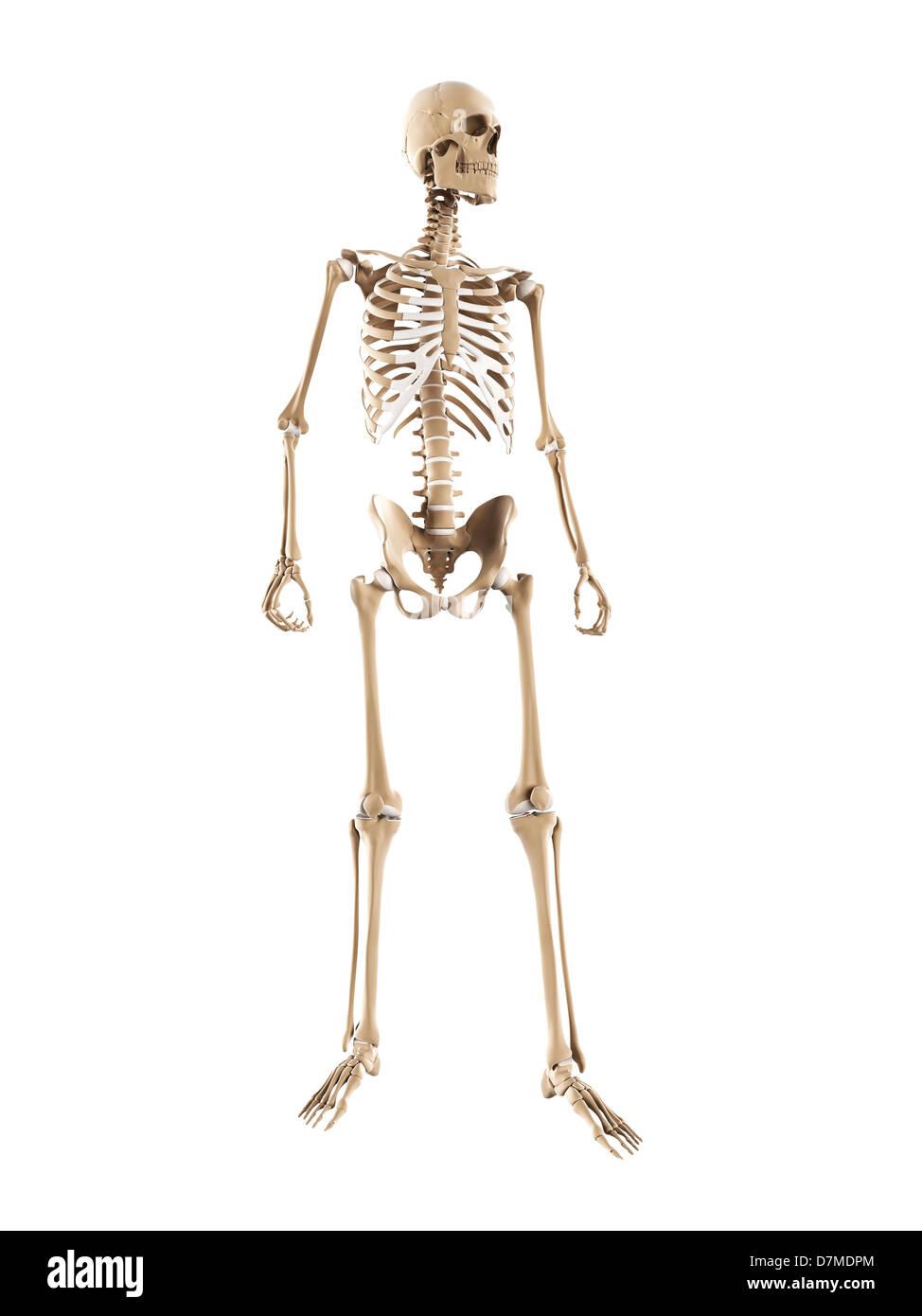 Skelett, Kunstwerk Stockbild