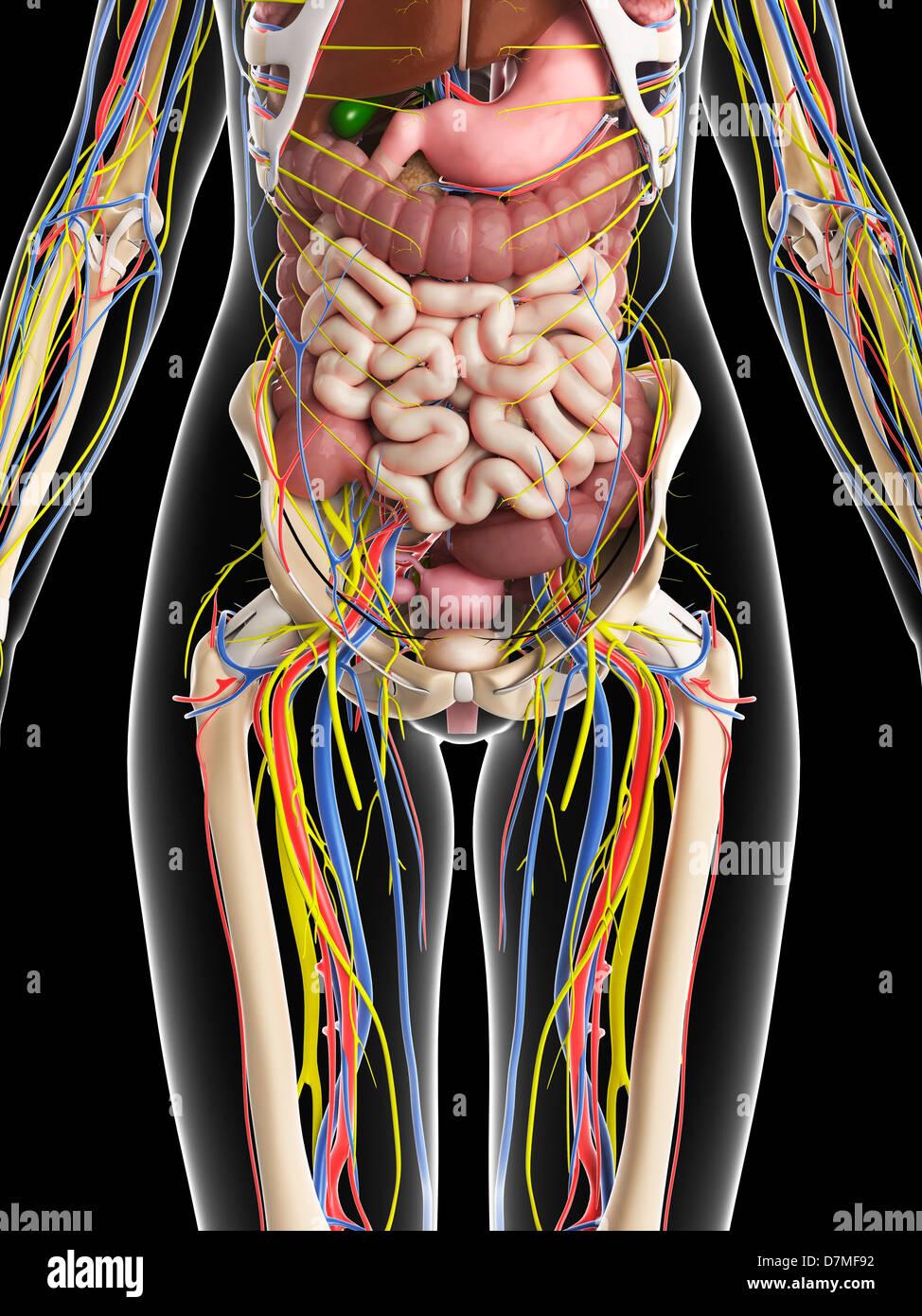 Weibliche Anatomie, artwork Stockfoto, Bild: 56384750 - Alamy