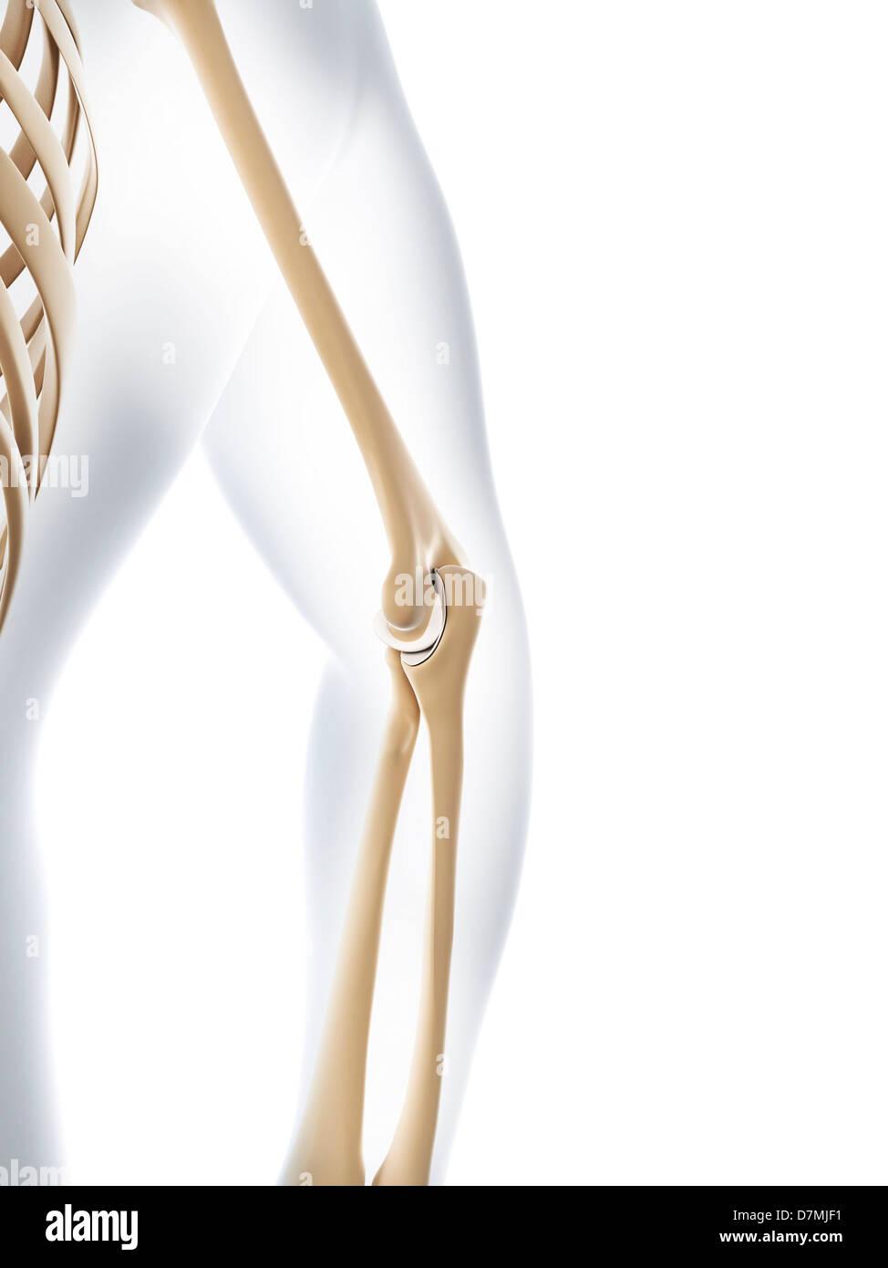 Atemberaubend Art Des Gelenkes Ideen - Anatomie Und Physiologie ...