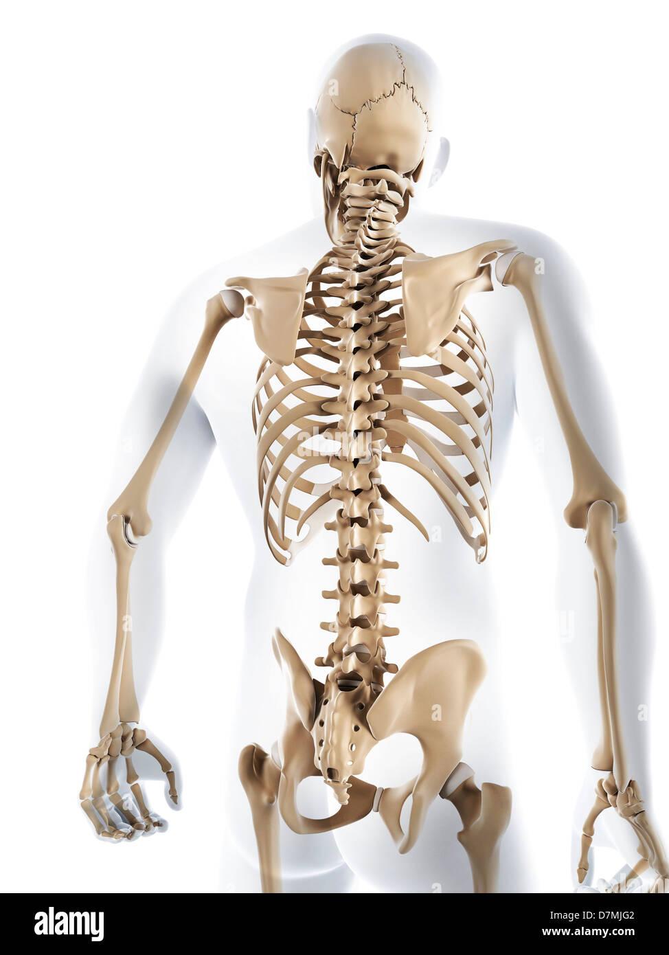 Ziemlich Männlich Skelett System Ideen - Anatomie Von Menschlichen ...