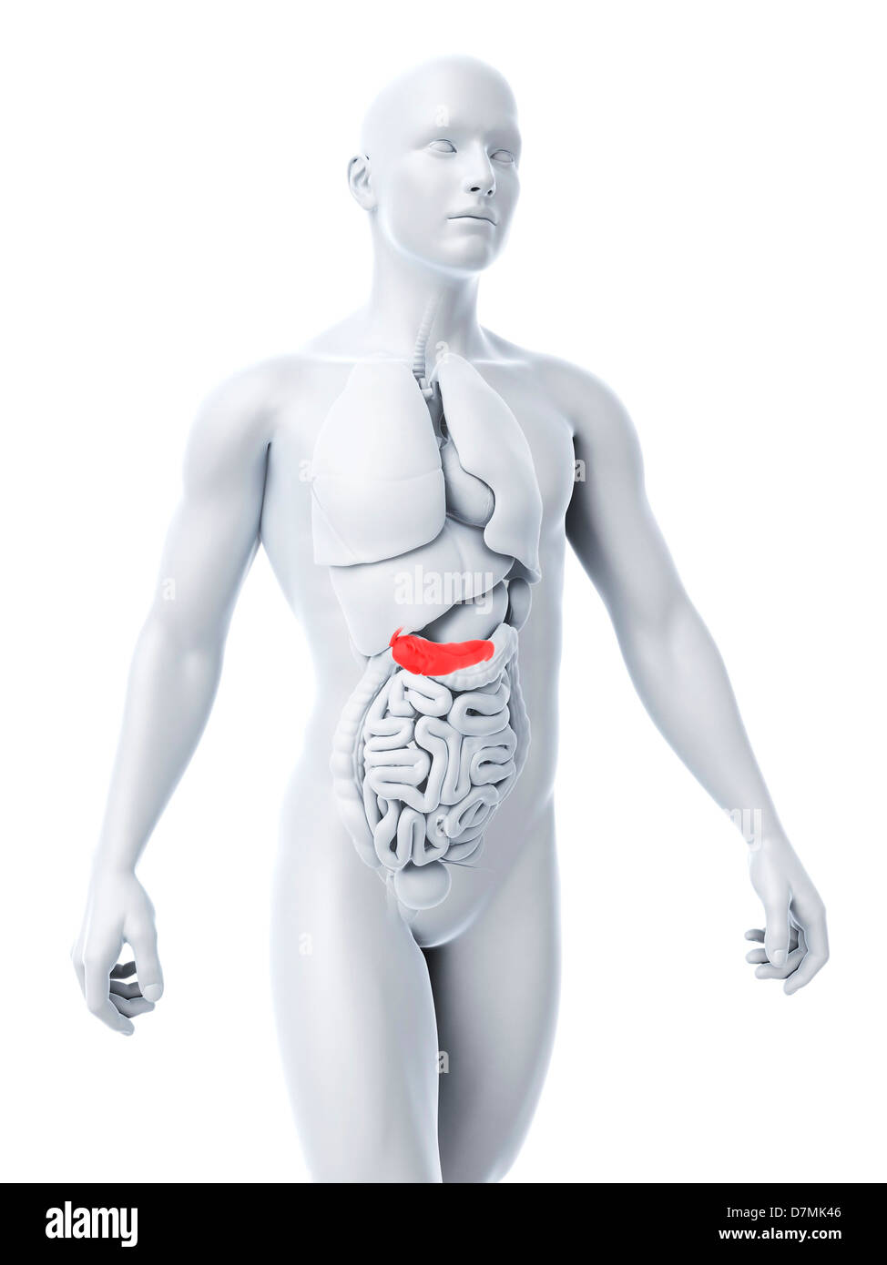 Pancreas And Human And Illustration Stockfotos & Pancreas And Human ...