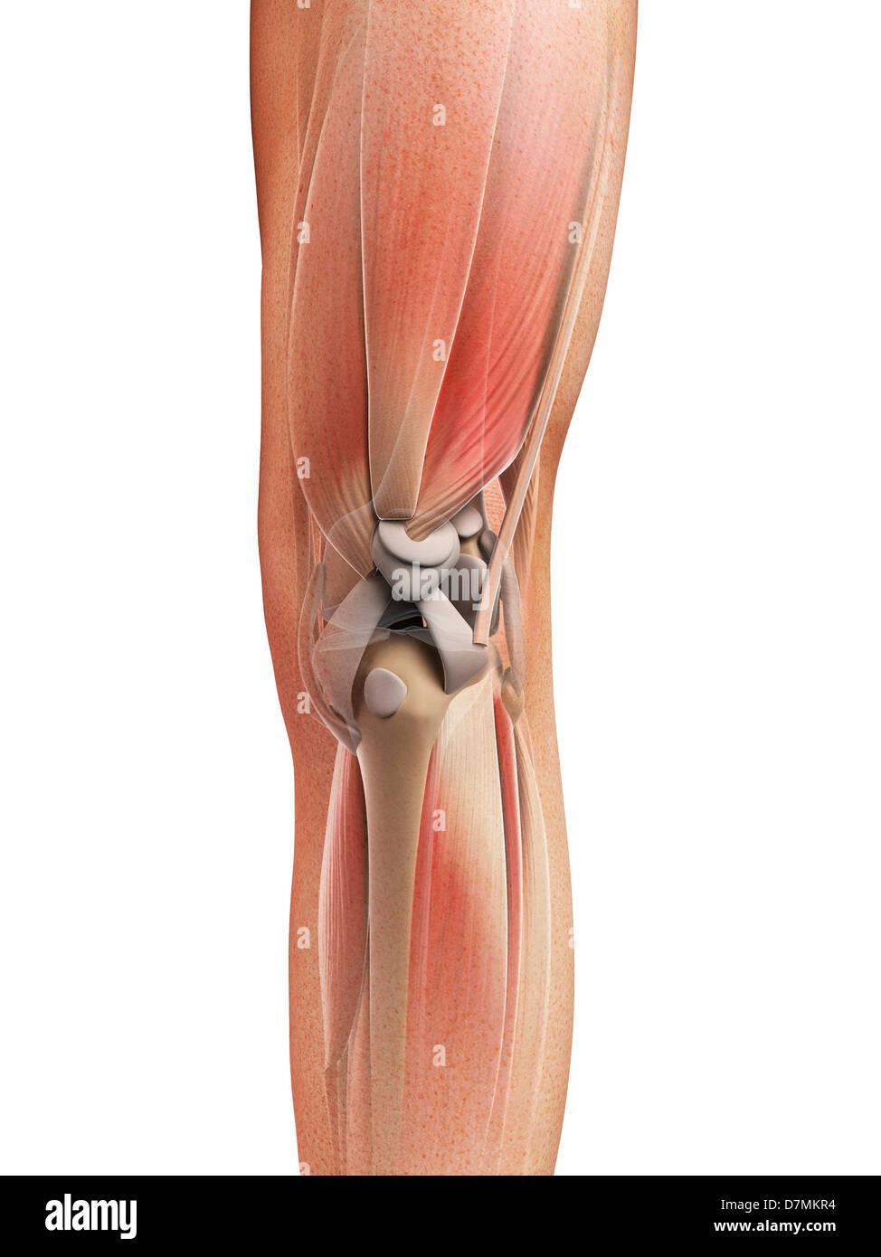Bein Anatomie, artwork Stockfoto, Bild: 56388280 - Alamy