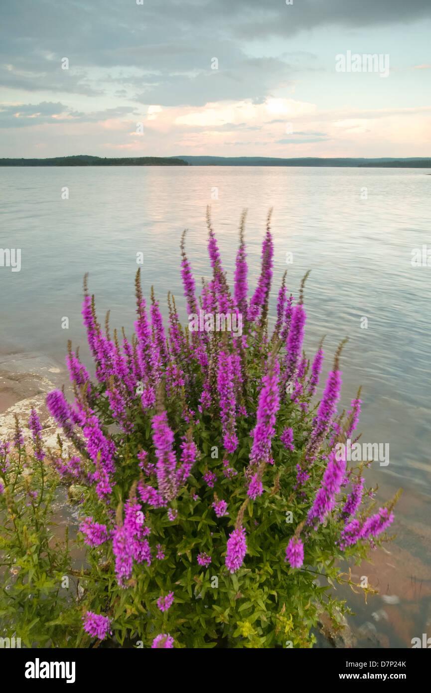 Blutweiderich Blumen an Moskjaera im See Vansjø, råde Kommune. Østfold fylke, Norwegen. Stockbild