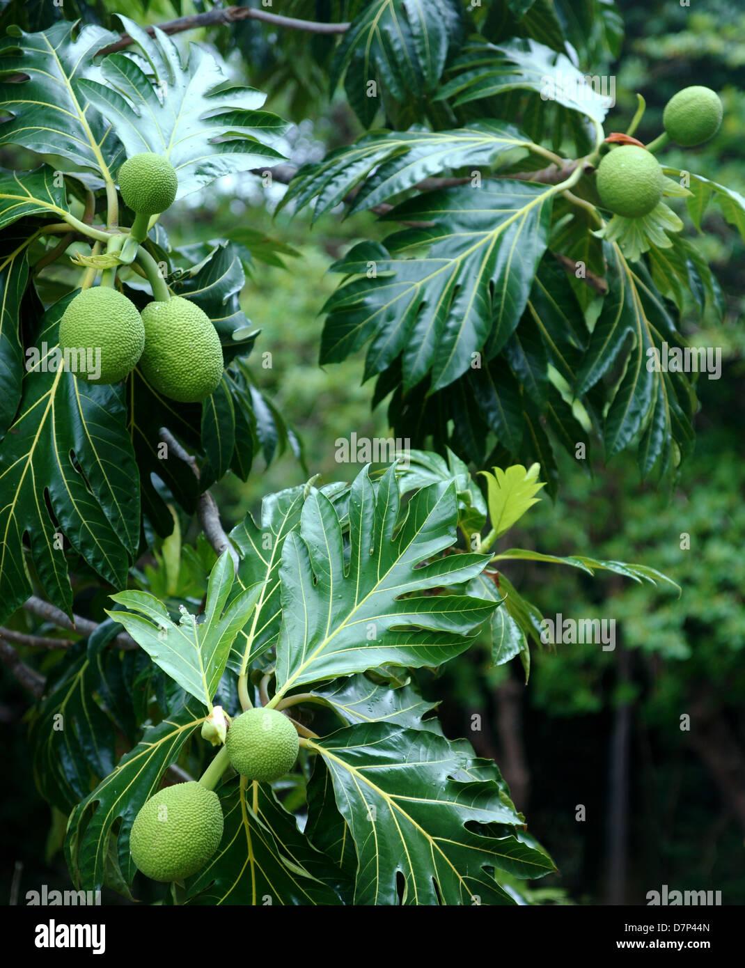 Brotfruchtbaum (Artocarpus Altilis) im tropischen Regenwald. Puerto Rico. Zentralamerika Stockbild