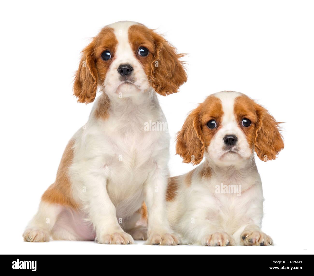 Zwei Cavalier King Charles Puppies, 2 Monate alt, sitzen und liegen auf weißen Hintergrund Stockbild