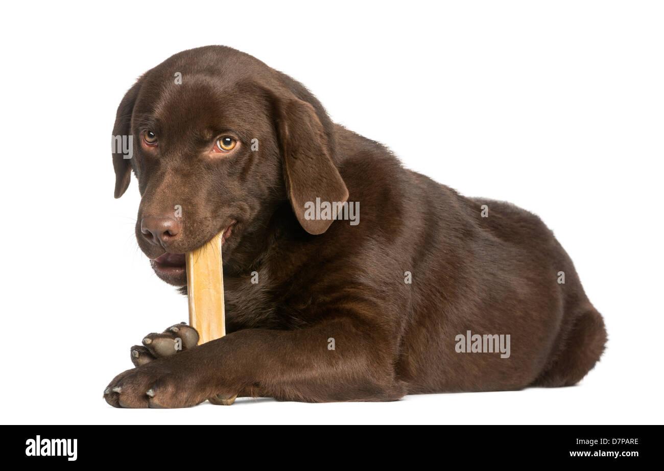 Chocolate Labrador, 7 Monate alt, Lügen und kauen ein Hundeknochen vor weißem Hintergrund Stockbild