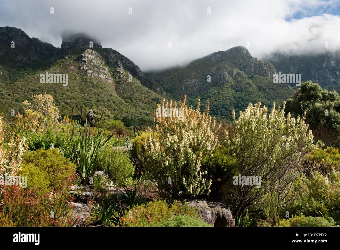 fynbos kirstenbosch national botanical garden auf der berschreitet auf den tafelberg kapstadt. Black Bedroom Furniture Sets. Home Design Ideas