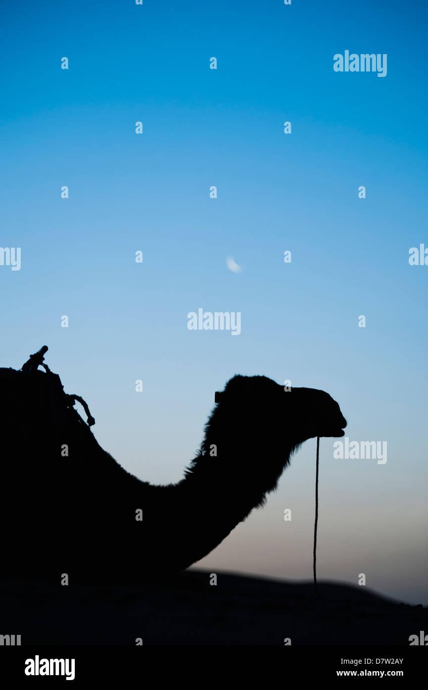 Kamel Silhouette unter den Mond bei Nacht, Erg Chebbi Wüste Sahara Wüste in der Nähe von Merzouga, Stockbild
