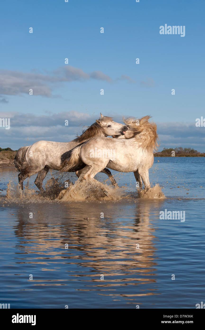 Camargue-Pferde, Hengste, die Kämpfe im Wasser, Bouches du Rhone, Provence, Frankreich Stockbild