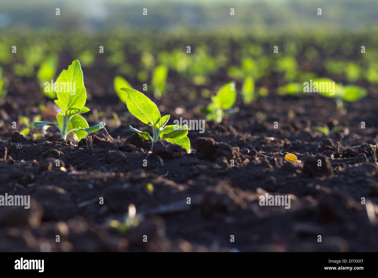 Pflanzen in fruchtbaren Boden gepflanzt bekommen unter der Sonne schnell reif Stockfoto