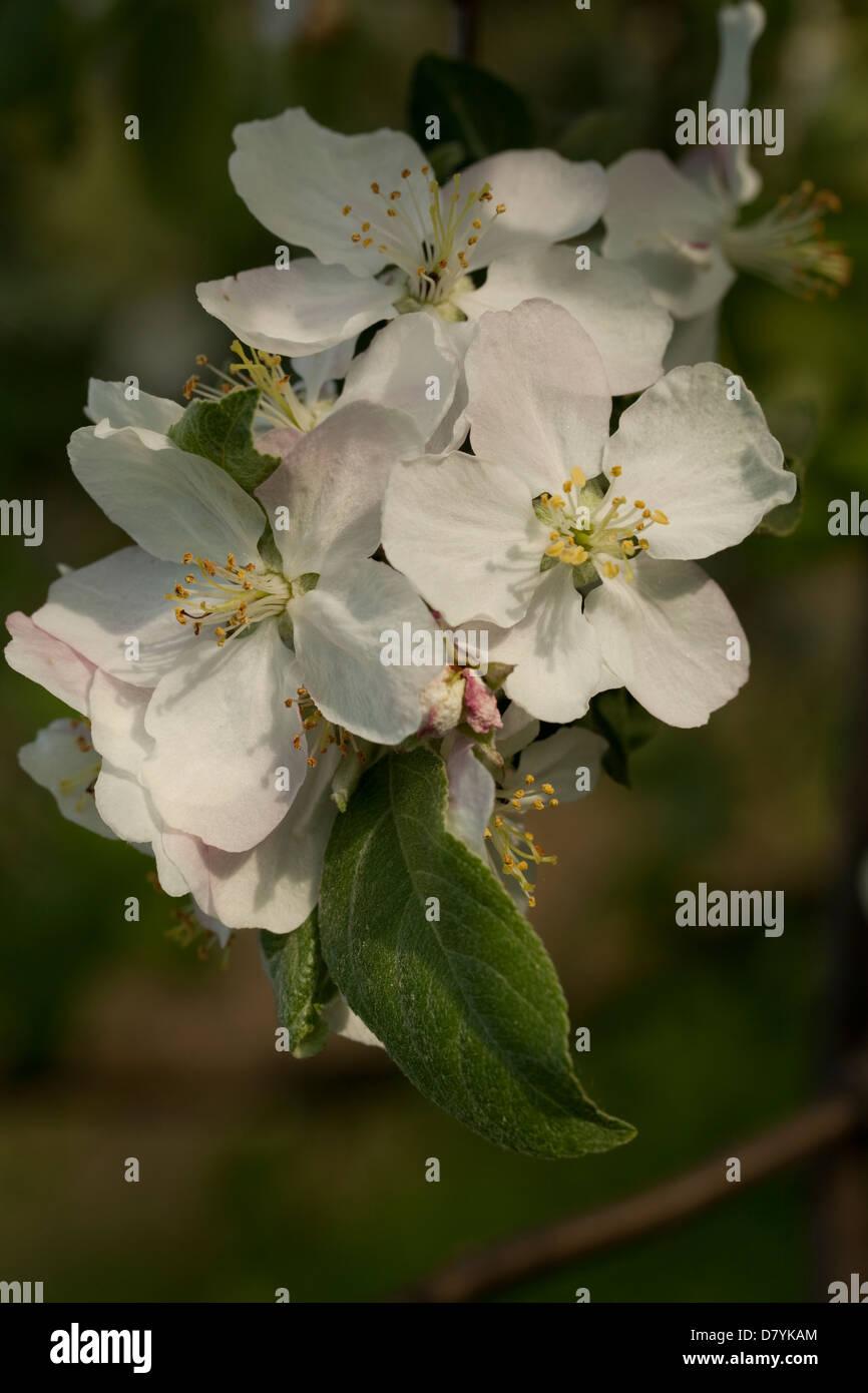 Zweig-Apfelbaum mit weißen Blütenstand als Hintergrund Stockbild